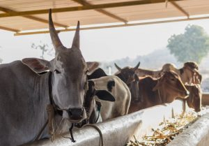 Cattle @NimaiValley 01